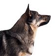 Race chien Spitz des visigoths