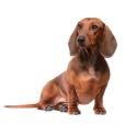 Race chien Teckel poil ras