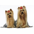 Race chien Yorkshire terrier