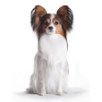 Race chien Epagneul nain papillon