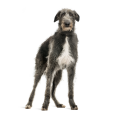 Race chien Deerhound