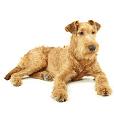 Afficher le standard de race Irish Terrier