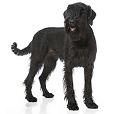 Race chien Schnauzer géant