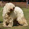 Race chien Komondor