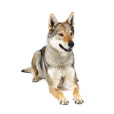 Race chien Chien loup tchécoslovaque