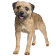 Race chien Border terrier