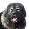 Race chien Berger du caucase