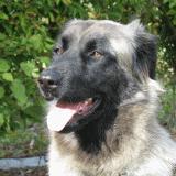 Race chien Chien de la serra estrela poil court