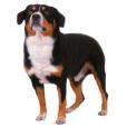 Race chien Bouvier de l'entlebuch