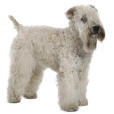 Trouver un éleveur d'Irish Soft Coated Wheaten Terrier