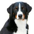 Race chien Bouvier de l'appenzell
