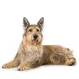 Race chien Berger de picardie
