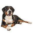 Race chien Grand bouvier suisse
