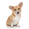 Race chien Welsh corgi pembroke