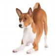 Race chien Basenji