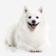 Race chien Spitz japonais