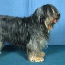 Race chien Chien de berger catalan poil lisse
