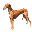 Race chien Azawakh