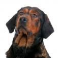 Race chien Basset des alpes