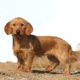 Race chien Basset fauve de bretagne