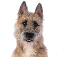 Race chien Berger belge laekenois