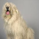 Race chien Berger de russie meridionale