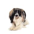 Race chien Epagneul nain phalène