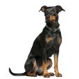 Race chien Pinscher allemand