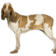 Race chien Braque italien
