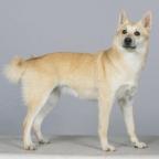 Race chien Buhund norvégien