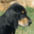 Race chien Chien courant de transylvanie