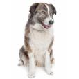 Race chien Chien de montagne de l'atlas