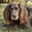 Race chien Chien d'oysel allemand