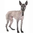 Race chien Chien nu du pérou (grand)