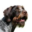 Race chien Chien d'arrêt allemand à poil dur