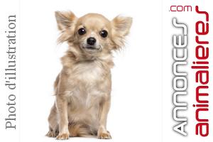Mâle Adulte Chihuahua