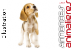 Vente chiots beagle lemon