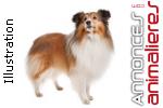 Chiot femelle chien de berger des shetland