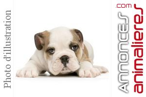 Superbe Chiot D'apparence Bulldog Anglais