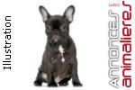 Souhaite adopter un bouledogue français de 3 mois min.