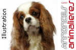 Chiot cavalier king charles lof