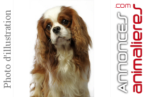 Chiot Apparence Cavalier King Charles