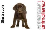 Labrador noire et chocolat