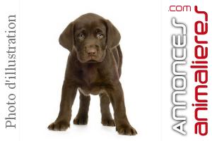 Labrador Males Chocolat