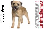 Chiots border terrier lof a reserver