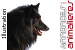 Chiot male berger belge groenendael lof disponible