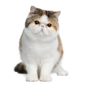 Groupe Persan, Exotic Shorthair , 2 races