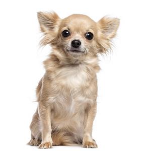 Les élevages de Chihuahua à poil long