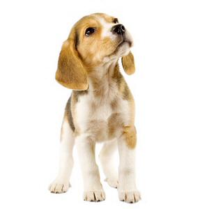 Les élevages de Beagle