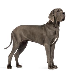 Les élevages de Dogue allemand